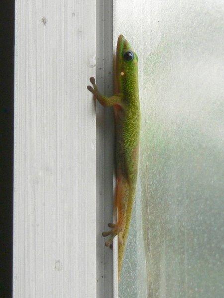 Gecko in Hawaii, by June Gilbank