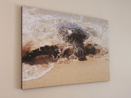 canvas print of Green Sea Turtle photo by June Gilbank