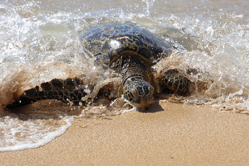 Green Sea Turtle photo by June Gilbank
