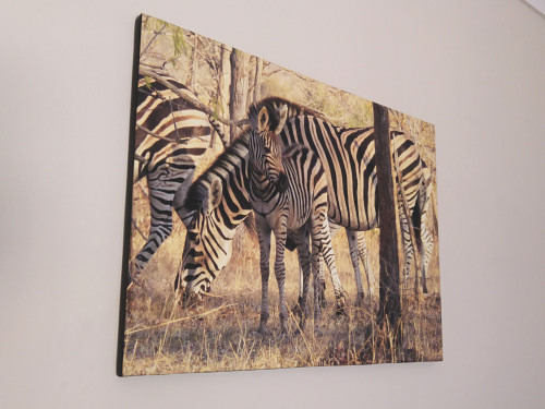canvas print of Zebras photo by June Gilbank