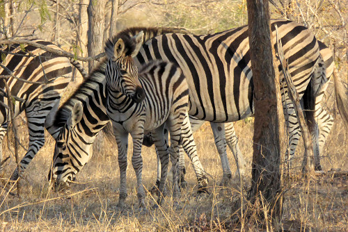 Zebras photo by June Gilbank