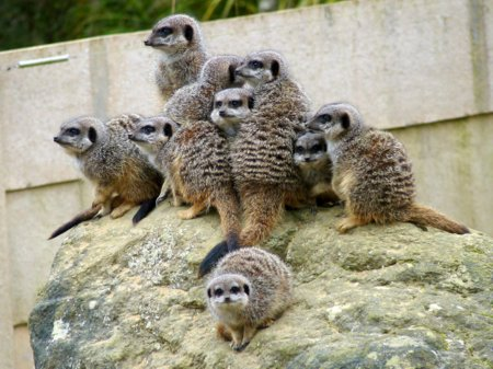 Meerkats at Durrell (photo by June Gilbank)