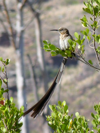 cape sugarbird (male)