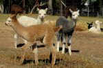 crias (baby alpacas) are so cute on their long wobbly legs!
