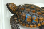 a rescued loggerhead turtle hatchling