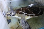 Bob the rescued green sea turtle