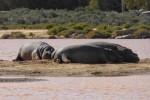 snoozing hippos