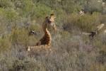 giraffe (and bonus points for spotting the blue wildebeest)