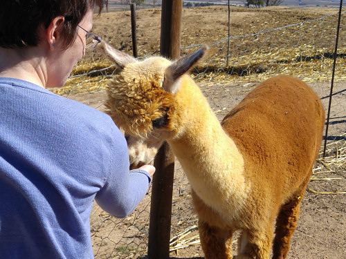 June handfeeding an alpaca