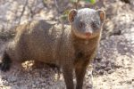 Dwarf Mongoose - another friendly, inquisitive animal!