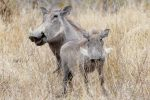Mama and baby Warthog posing for the camera - look at that smile!