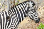 Zebra tolerating its resident flock of Oxpeckers.
