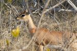 Small antelope like this Steenbok are very cute.