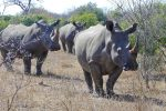 So lovely to come across a troop of endangered White Rhino.