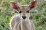 This adorable baby Bushbuck was so inquisitive, he walked right up to me!