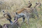 Hyaena feeding from a buffalo carcass.