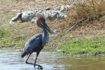 Goliath heron with a huge fish (and massive crocodiles resting on the bank behind!)