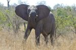 This is how an elephant looks when you accidentally get a little too close!