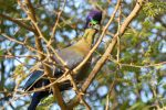 Purple-Crested Turacos hate being photographed but my patience paid off.