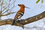 I was so excited to see my first Hoopoe! (They only raise their spectacular crests when alarmed.)