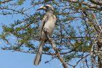 African Grey Hornbill.