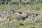 Zooming in on the left-hand rocks - there were 10 lions lying on this side, and another 8ish on the other!