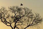 Lucky shot: bird of prey taking flight in the last golden light of the day