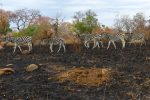 Zebra were the only animals we saw in the burnt remains after a bush fire