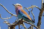 the stunning Lilac-Breasted Roller
