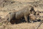 Warthog having a post-mudbath scratch