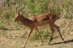 Impala are extremely common at Kruger