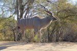a big male Kudu