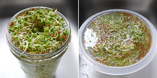 preparing clover sprouts