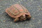 those aren't false colours - this tiny tortoise really was red and green