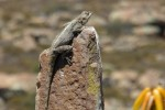 southern rock agama sunning herself
