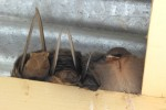 an adorable family of rock martins nestled in the rafters
