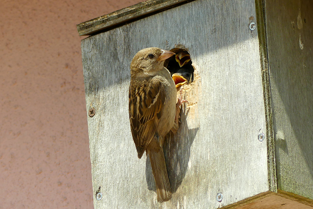 female house sparrow with chicks!