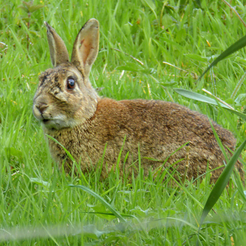 ukwildlife_rabbit