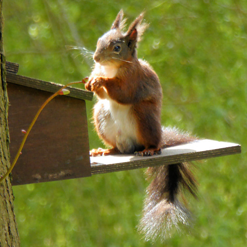 ukwildlife_redsquirrel