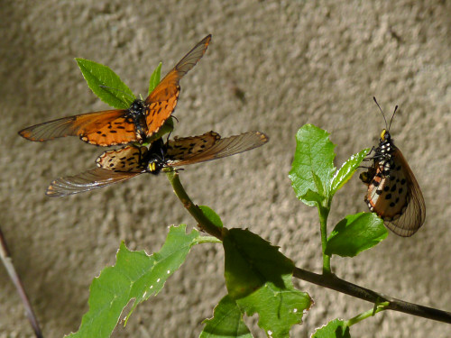 garden acraea butterflies laying eggs