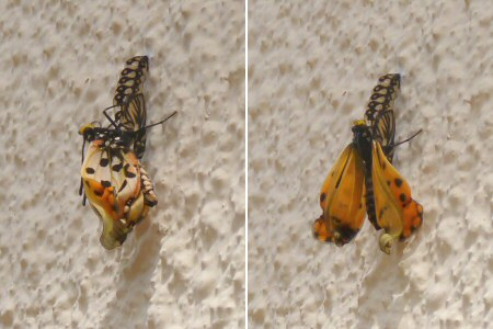 butterfly emerging from cocoon
