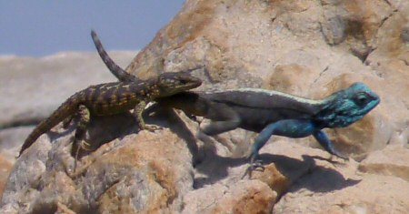 cape girdled lizard and southern rock agama