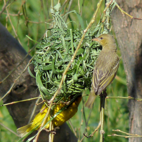 cape weaver nest