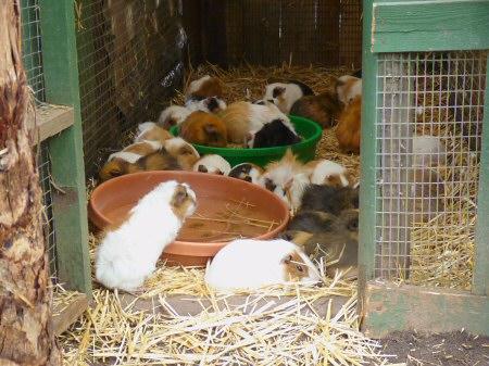 Pudding & Cake, crochet guinea pig patterns | Son's Popkes | 337x450