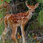 Fawn (Baby Deer)
