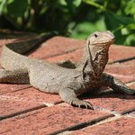 Monitor Lizard / Komodo Dragon