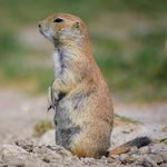 Prairie Dog / Gopher